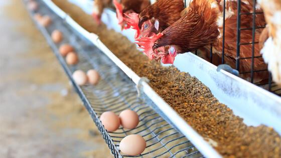 Francuzi zakażą sprzedaży jaj z chowu klatkowego
