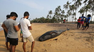 W Sri Lance ratowali wieloryby (PAP/EPA/CHAMILA KARUNARATHNE)