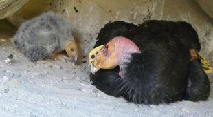 Kondory kalifornijskie to padlinożercy