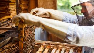 Użądliła cię pszczoła? Alergia może ujawnić się po kilku latach