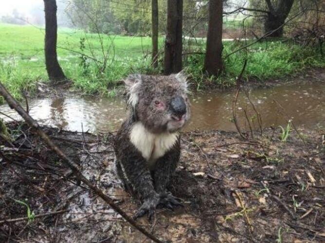 Zagubiony koala w Australii (fot.: Russell Latter)
