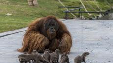 Orangutany z belgijskiego zoo bawią się z wydrami (Pascale Jones/Pairi Daiza)